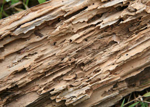 Termite-damaged wood showing rotting galleries outside of a Eveleth home